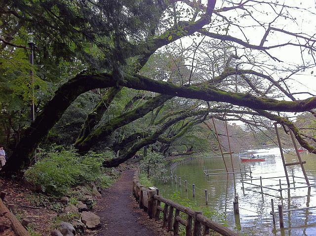 井の頭公園の桜の木