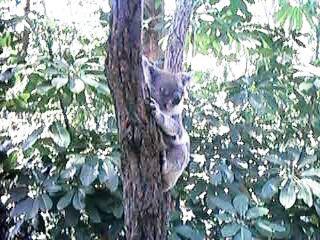Koala at Currumbin Sanctuary
