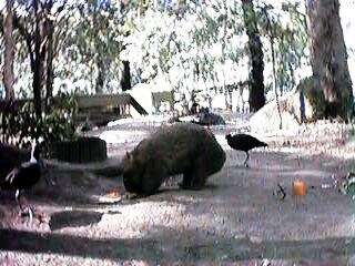 Wombat at Currumbin Sanctuary
