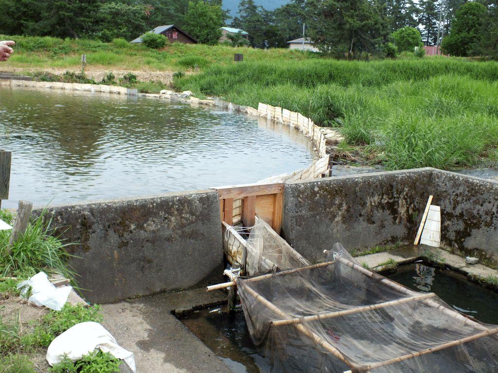 知内川のヤナ