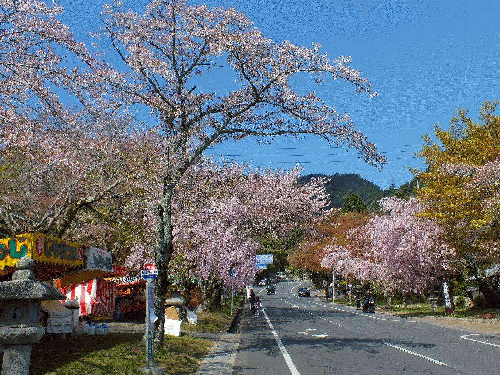 日吉馬場の桜